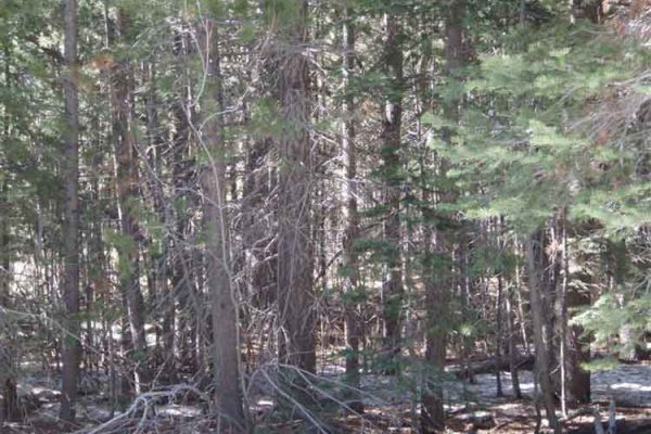 This is a photo of a dense, unhealthy conifer stand, with high fire hazard