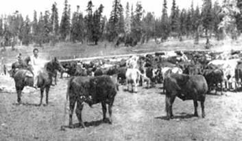 Cattle in the upper truckee meadow